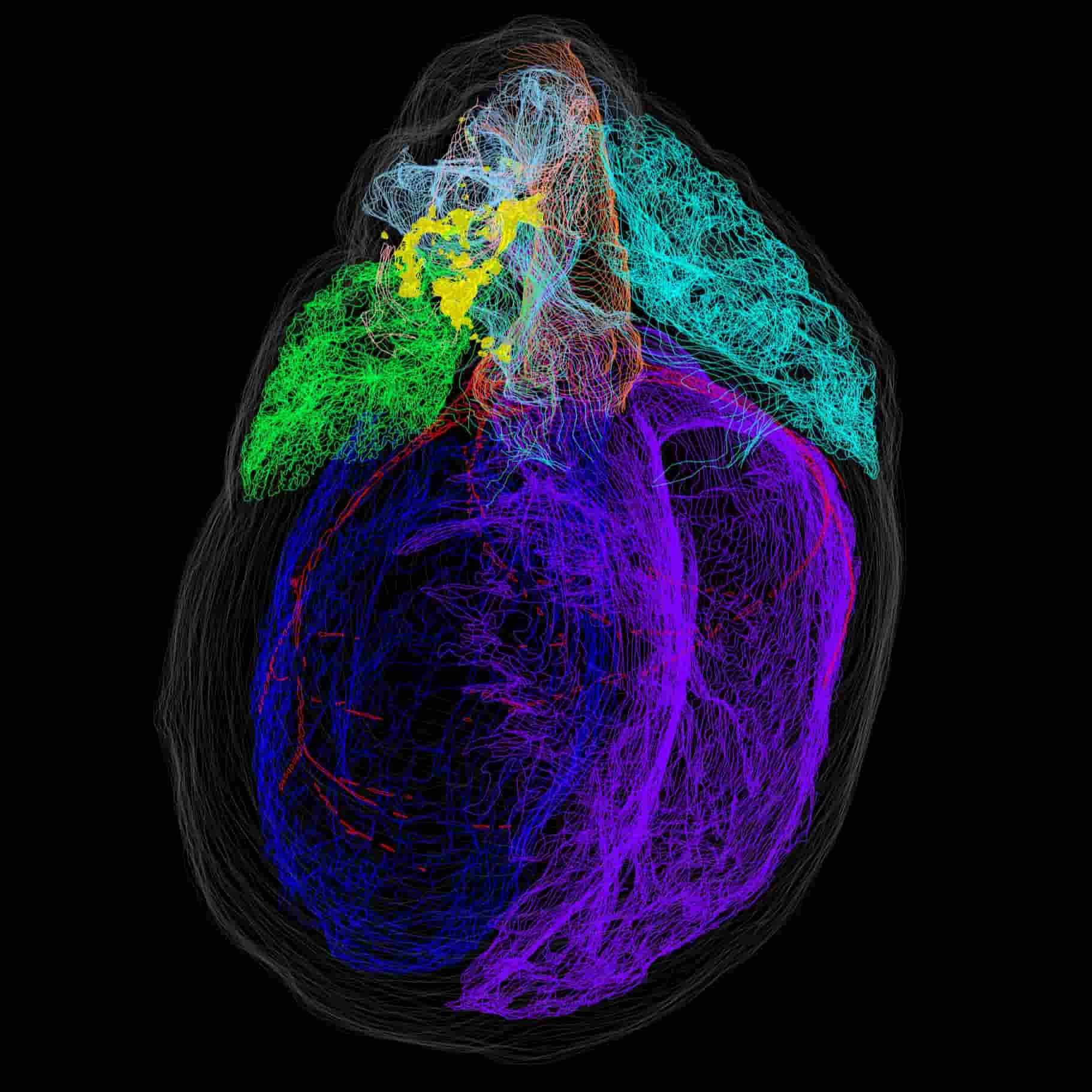 3d модель нейронов сердца